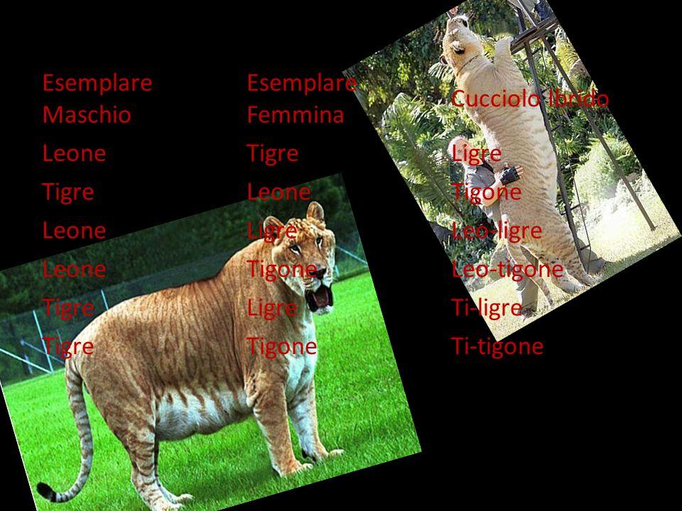Esemplare Maschio Esemplare Femmina Cucciolo Ibrido LeoneTigreLigre TigreLeoneTigone LeoneLigreLeo-ligre LeoneTigoneLeo-tigone TigreLigreTi-ligre TigreTigoneTi-tigone