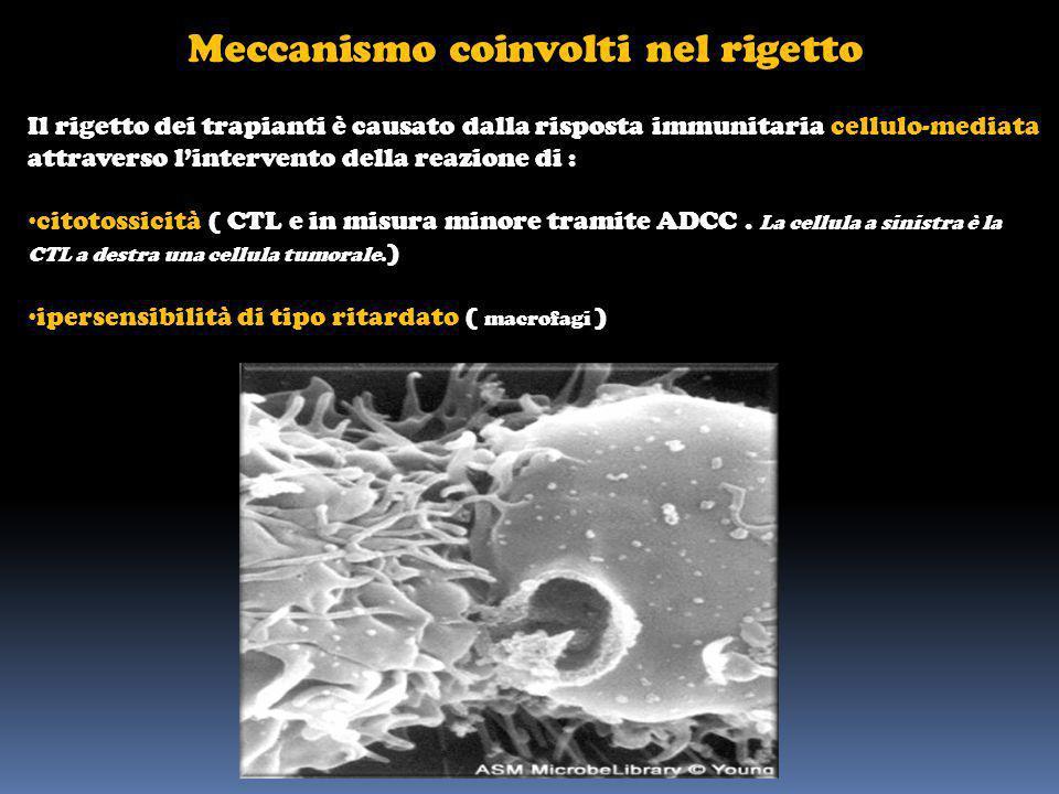 Meccanismo coinvolti nel rigetto Il rigetto dei trapianti è causato dalla risposta immunitaria cellulo-mediata attraverso lintervento della reazione d