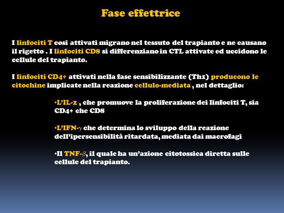 Fase effettrice I linfociti T cosi attivati migrano nel tessuto del trapianto e ne causano il rigetto. I linfociti CD8 si differenziano in CTL attivat