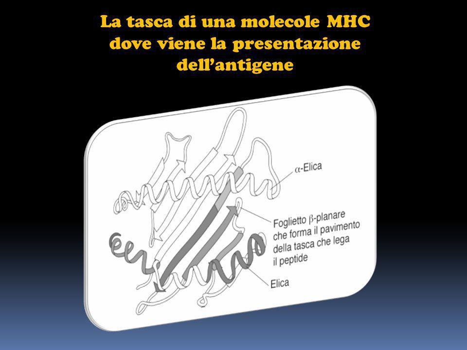 La tasca di una molecole MHC dove viene la presentazione dellantigene