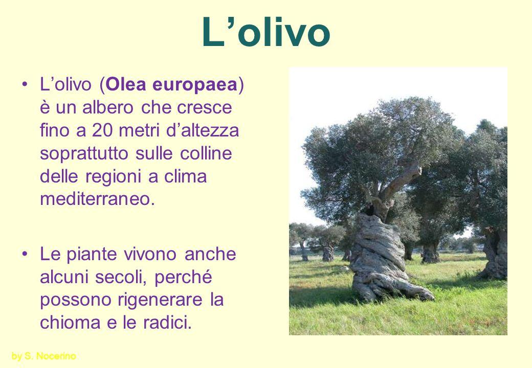 Loliva È una drupa del peso di 1,5 – 5 g formata da: Epicarpo (buccia) prima verde, poi bruno rossastra e, infine, viola intenso, quasi nero.