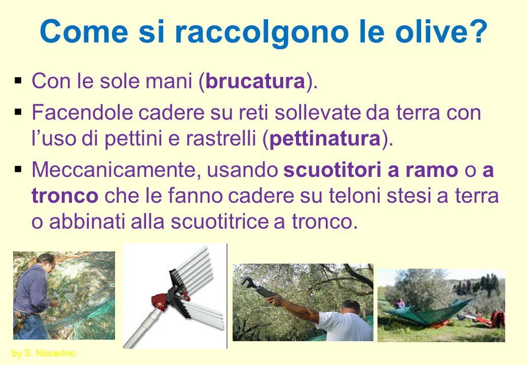 Lo stoccaggio delle olive Le olive raccolte vanno: poste in cassette di plastica forate non troppo alte; conservate in locali freschi, ben aerati e lontano da cattivi odori (stalle, macchine, carburanti); lavorate possibilmente entro 24 ore.