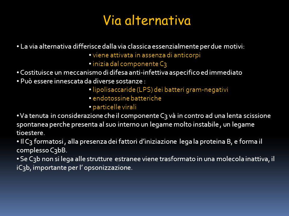 Via alternativa La via alternativa differisce dalla via classica essenzialmente per due motivi: viene attivata in assenza di anticorpi inizia dal comp