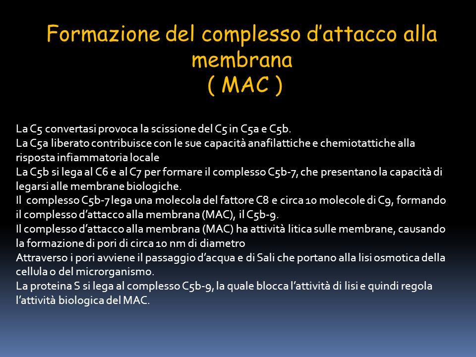 Formazione del complesso dattacco alla membrana ( MAC ) La C5 convertasi provoca la scissione del C5 in C5a e C5b. La C5a liberato contribuisce con le
