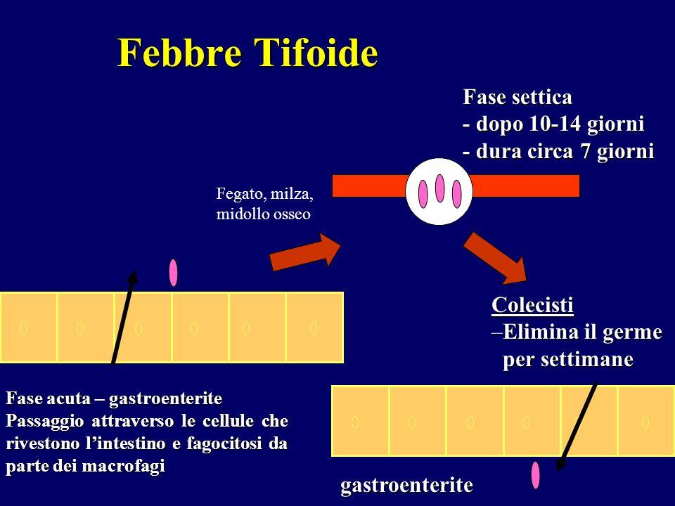 Febbre Tifoide Fase acuta – gastroenterite Passaggio attraverso le cellule che rivestono lintestino e fagocitosi da parte dei macrofagi Colecisti –Eli