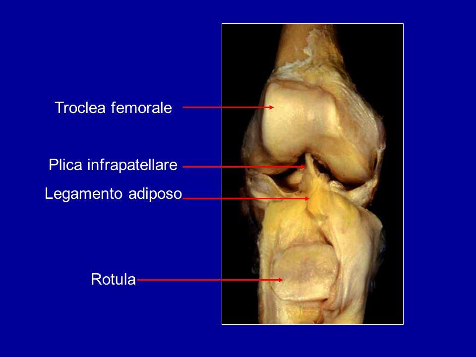 Troclea femorale Plica infrapatellare Legamento adiposo Rotula
