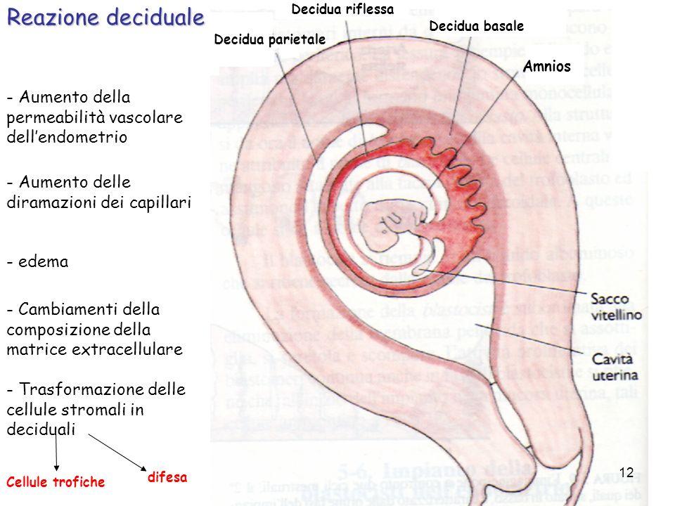 Reazione deciduale - Aumento della permeabilità vascolare dellendometrio - Aumento delle diramazioni dei capillari - Cambiamenti della composizione de
