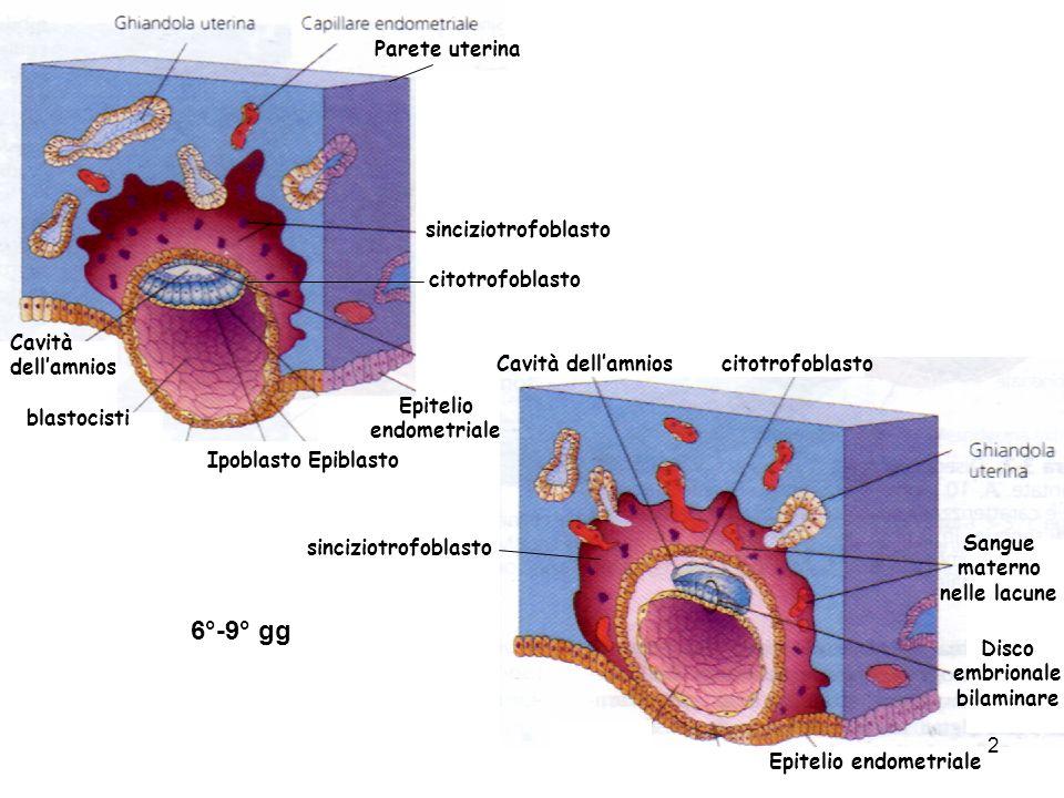 blastocisti Parete uterina Epitelio endometriale sinciziotrofoblasto citotrofoblasto Sangue materno nelle lacune Epitelio endometriale EpiblastoIpobla