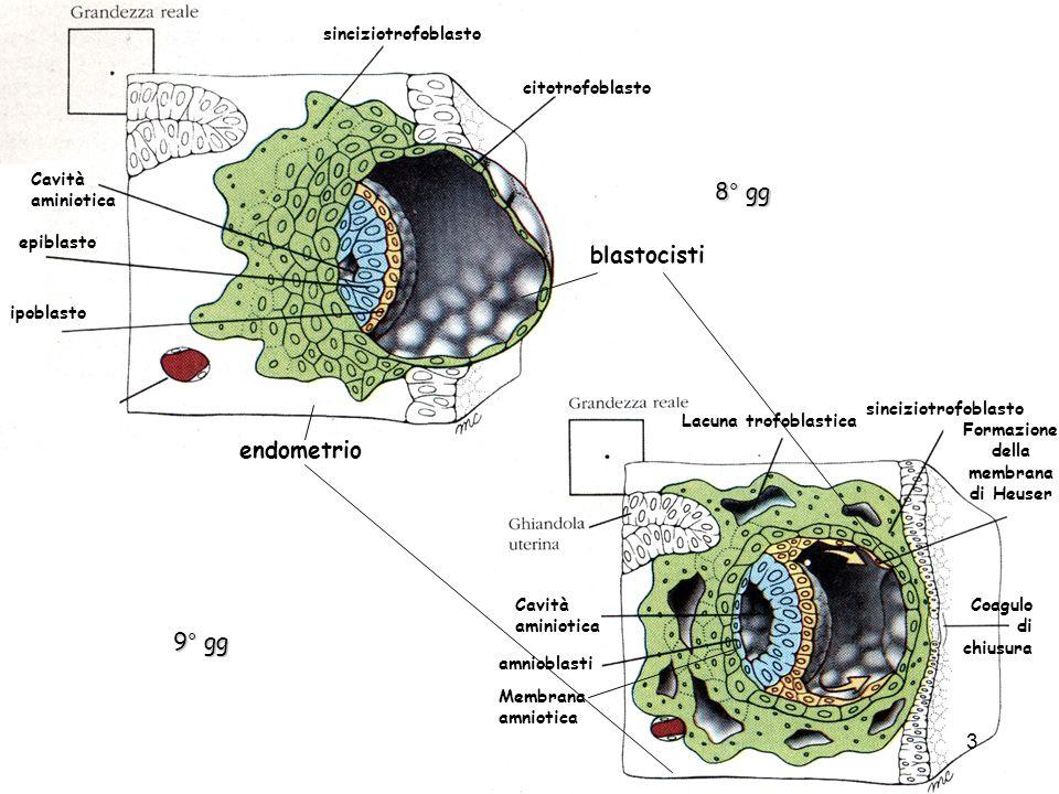 10°-11° gg sinciziotrofoblasto Lacuna trofoblastica membrana di Heuser blastocele Sacco vitellino primario Cavità amniotica Membrana amniotica epiblasto ipoblasto Magma reticolato citotrofoblasto epiblasto Magma reticolato Epiblasto che prolifera Mesoderma extraembrionale 12° gg Cavità del magma reticolato 4