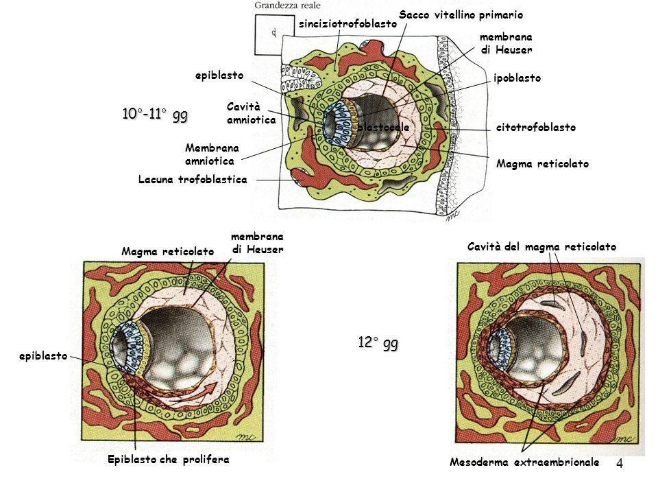 Mesoderma extraembrionale Cavità coriale o celoma extraembrionale Sacco vitellino primario Mesoderma extraembrionale Cavità coriale Sacco vitellino Vescicole esocelomatiche 13° gg Residui del sacco vitellino primario Polo abembrionale Sacco vitellino definitivo ipoblasto 5