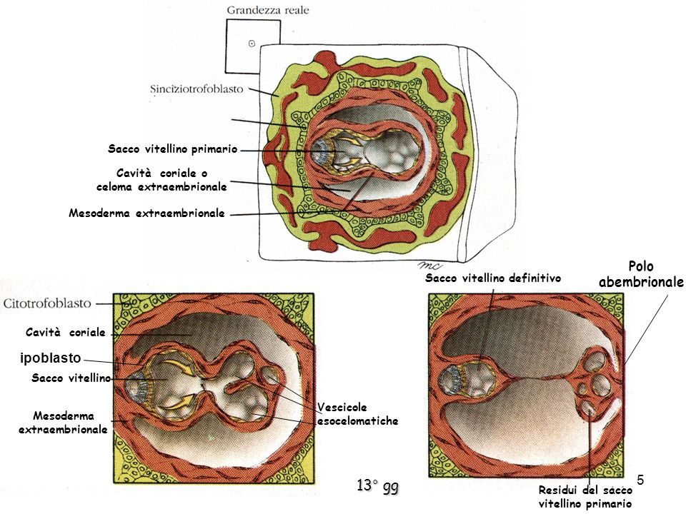 Mesoderma extraembrionale Cavità coriale o celoma extraembrionale Sacco vitellino primario Mesoderma extraembrionale Cavità coriale Sacco vitellino Ve