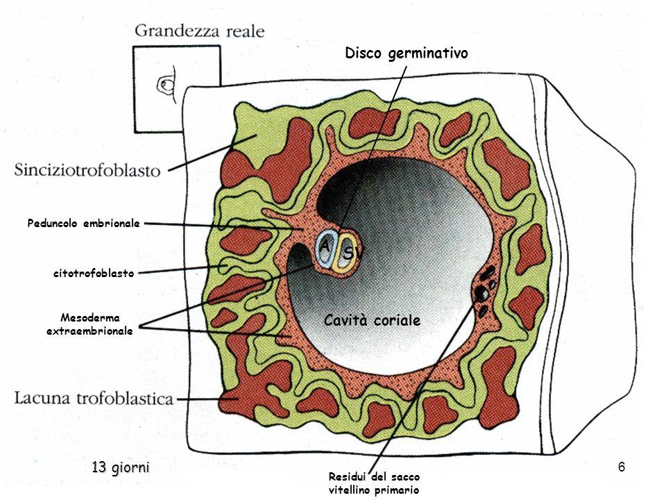 Cavità coriale Mesoderma extraembrionale A SV citotrofoblasto Disco germinativo Peduncolo embrionale Residui del sacco vitellino primario 13 giorni 6