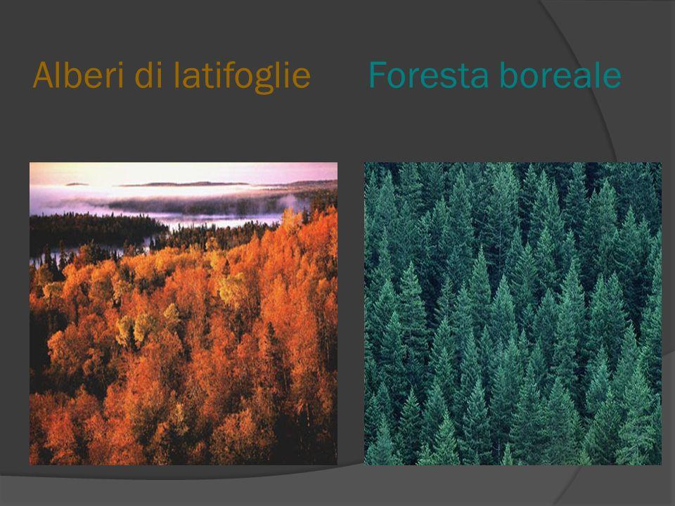Alberi di latifoglie Foresta boreale