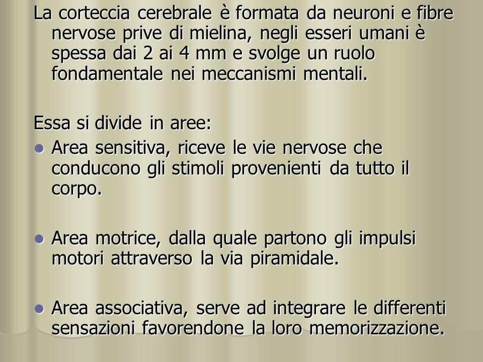 La corteccia cerebrale è formata da neuroni e fibre nervose prive di mielina, negli esseri umani è spessa dai 2 ai 4 mm e svolge un ruolo fondamentale
