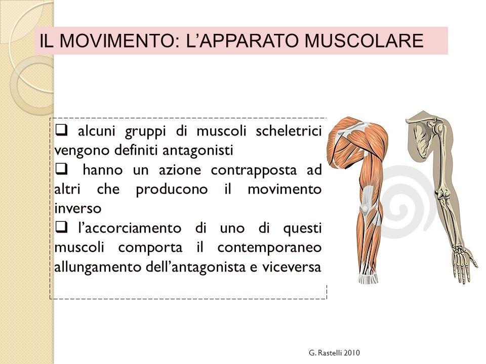 IL MOVIMENTO: LAPPARATO MUSCOLARE alcuni gruppi di muscoli scheletrici vengono definiti antagonisti hanno un azione contrapposta ad altri che producon