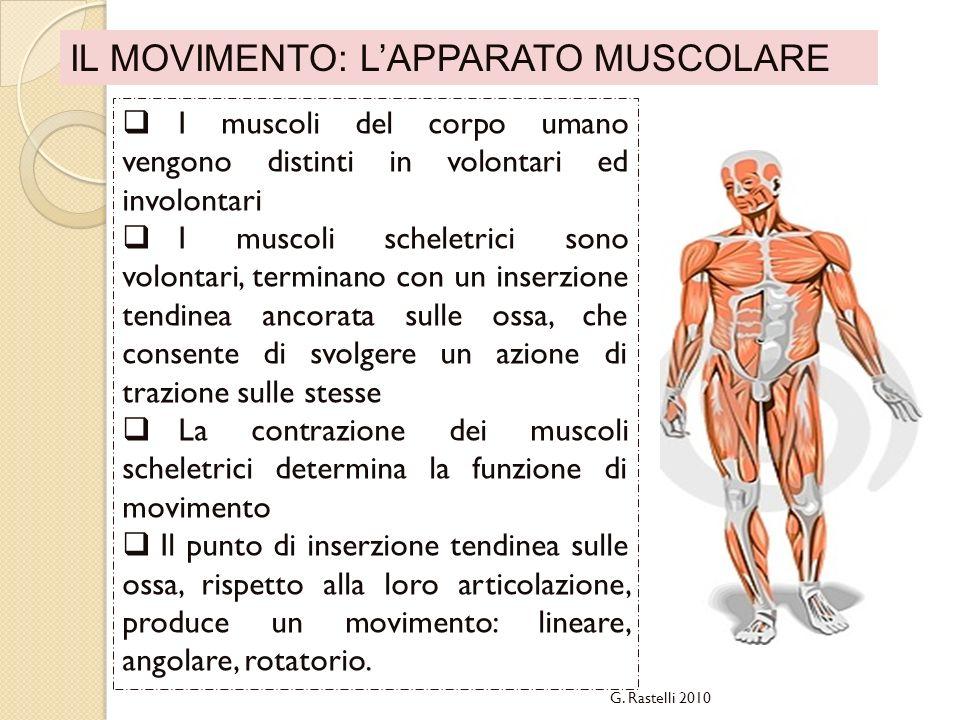 IL MOVIMENTO: LAPPARATO MUSCOLARE I muscoli del corpo umano vengono distinti in volontari ed involontari I muscoli scheletrici sono volontari, termina
