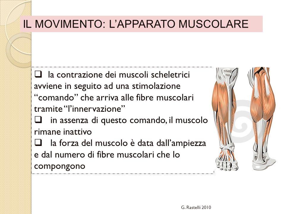 IL MOVIMENTO: LAPPARATO MUSCOLARE la contrazione dei muscoli scheletrici avviene in seguito ad una stimolazione comando che arriva alle fibre muscolar