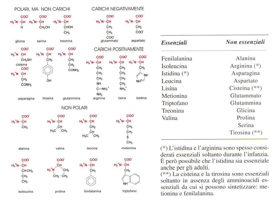 Aminoacidogramma plasmatico e urinario Eseguito con tecniche cromatografiche (HPLC) su plasma fresco eparinizzato (non l Ac.EDTA) permette la misura della concentrazione dei singoli aminoacidi liberi.