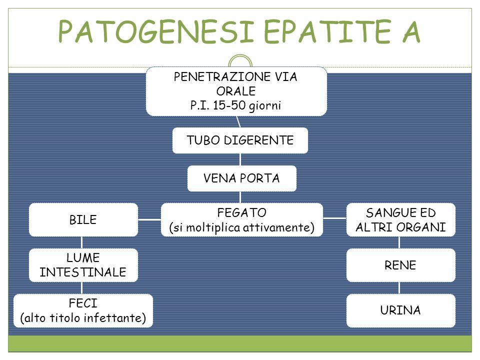 PATOGENESI EPATITE A PENETRAZIONE VIA ORALE P.I. 15-50 giorni TUBO DIGERENTE VENA PORTA FEGATO (si moltiplica attivamente) SANGUE ED ALTRI ORGANI BILE