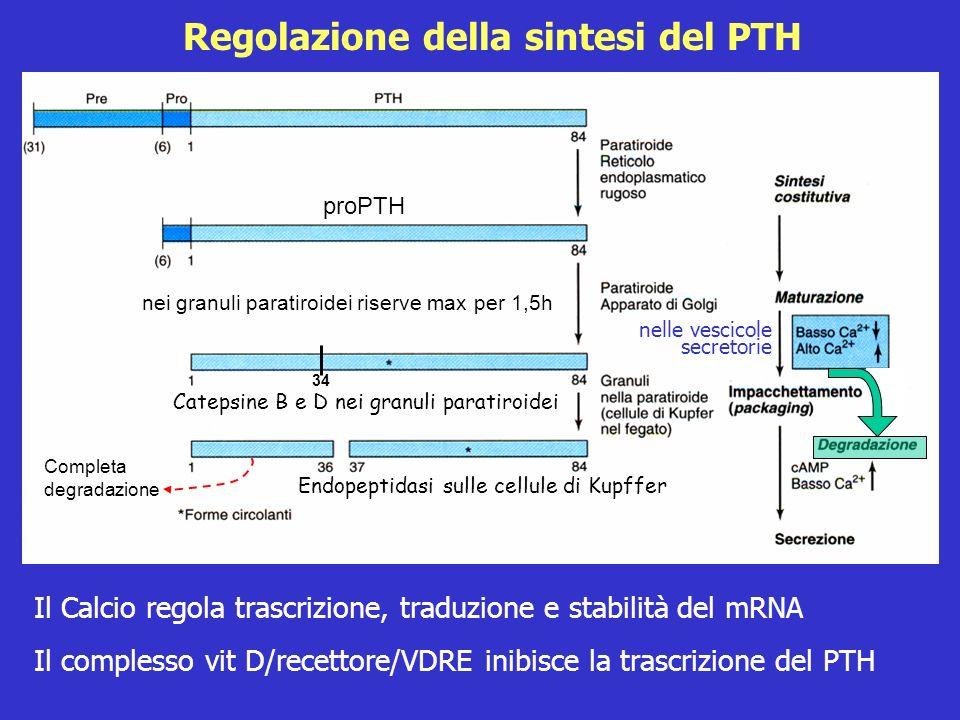 Regolazione della sintesi del PTH Il Calcio regola trascrizione, traduzione e stabilità del mRNA Il complesso vit D/recettore/VDRE inibisce la trascri