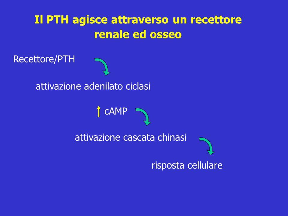Il PTH agisce attraverso un recettore renale ed osseo Recettore/PTH attivazione adenilato ciclasi cAMP attivazione cascata chinasi risposta cellulare