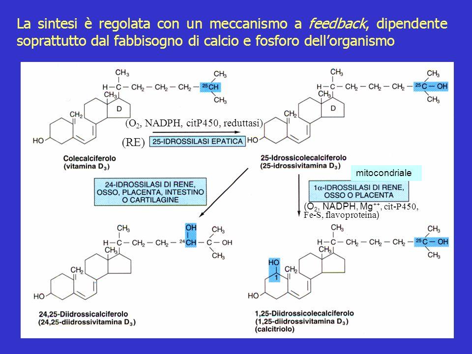 La sintesi è regolata con un meccanismo a feedback, dipendente soprattutto dal fabbisogno di calcio e fosforo dellorganismo (RE) (O 2, NADPH, citP450,