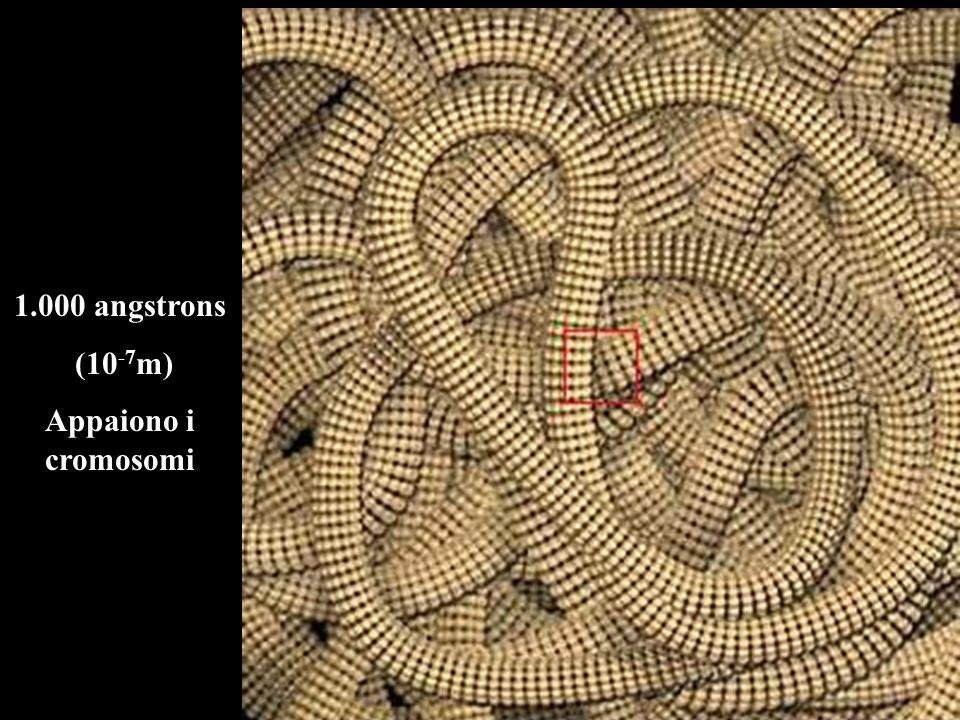 1.000 angstrons (10 -7 m) Appaiono i cromosomi