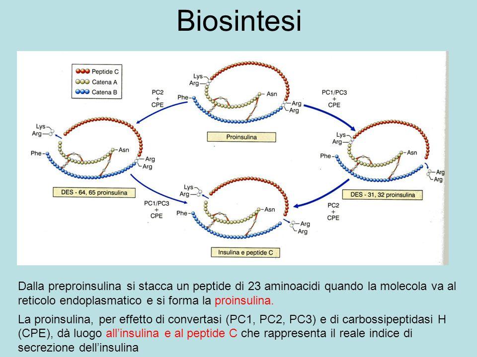Biosintesi Dalla preproinsulina si stacca un peptide di 23 aminoacidi quando la molecola va al reticolo endoplasmatico e si forma la proinsulina. La p