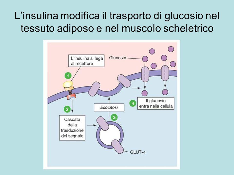 Linsulina modifica il trasporto di glucosio nel tessuto adiposo e nel muscolo scheletrico