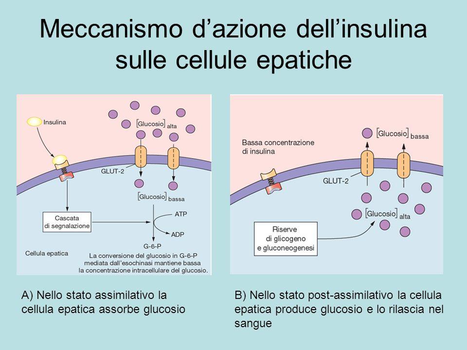 Meccanismo dazione dellinsulina sulle cellule epatiche A) Nello stato assimilativo la cellula epatica assorbe glucosio B) Nello stato post-assimilativ