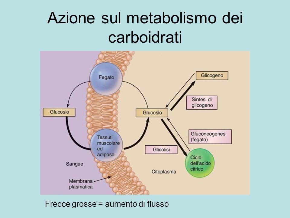 Azione sul metabolismo dei carboidrati Frecce grosse = aumento di flusso