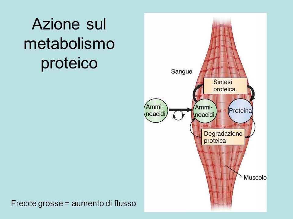 Azione sul metabolismo proteico Frecce grosse = aumento di flusso