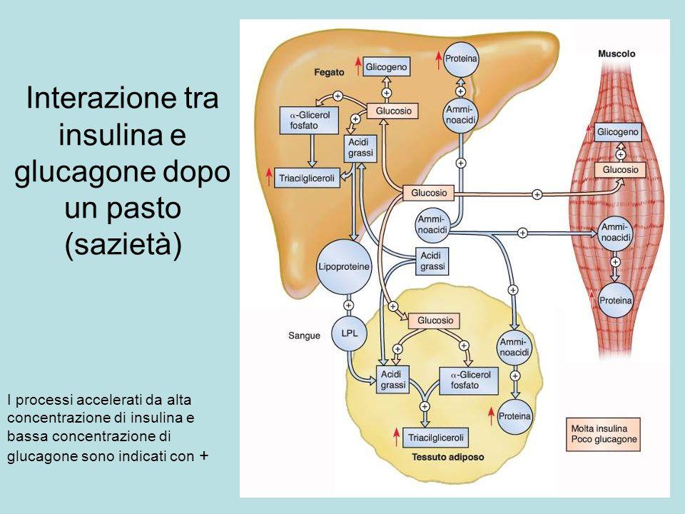 Interazione tra insulina e glucagone dopo un pasto (sazietà) I processi accelerati da alta concentrazione di insulina e bassa concentrazione di glucag
