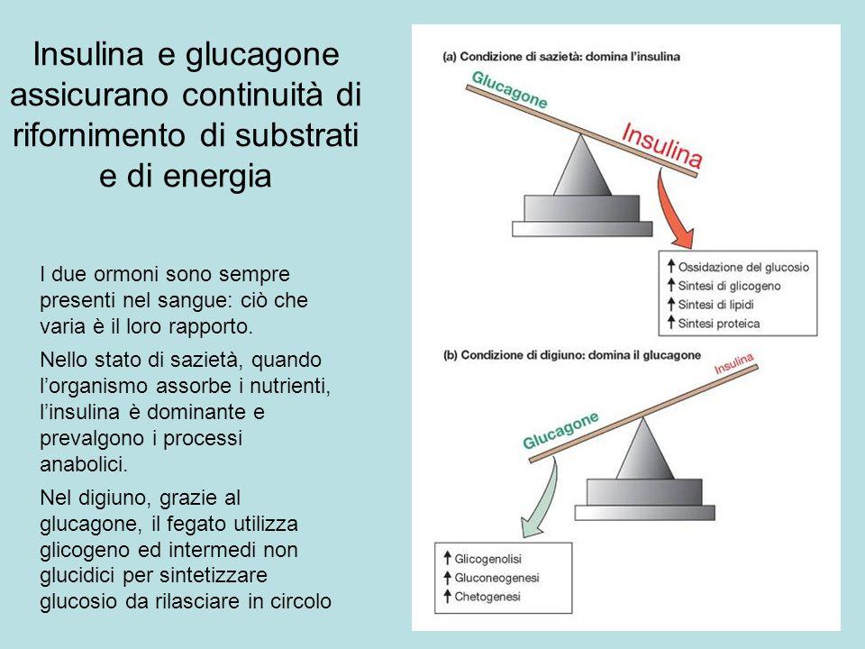 Insulina e glucagone assicurano continuità di rifornimento di substrati e di energia I due ormoni sono sempre presenti nel sangue: ciò che varia è il
