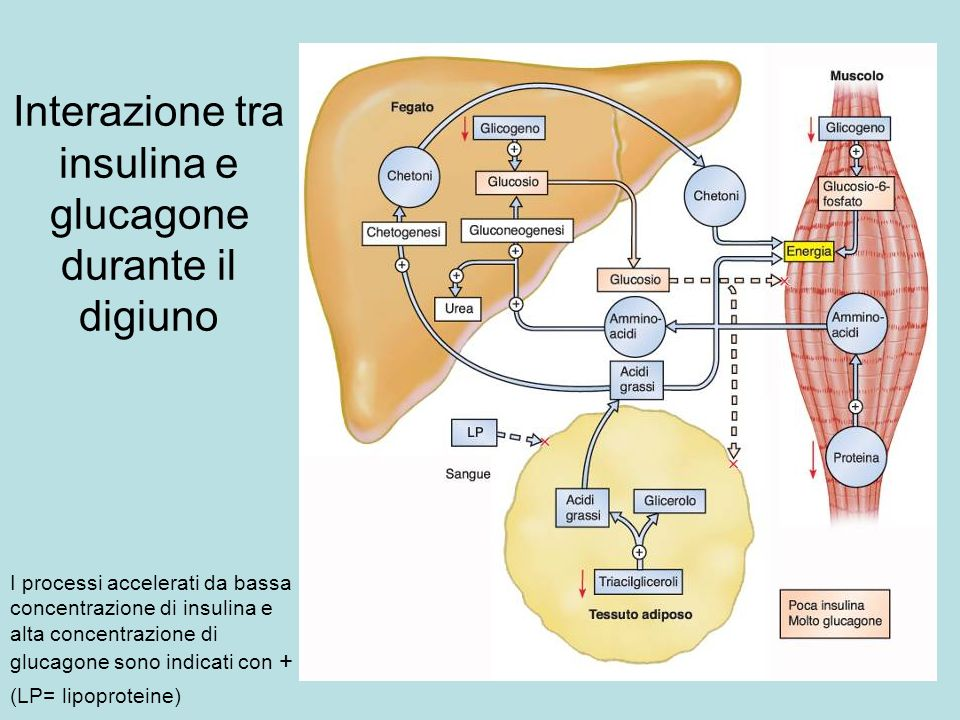 Interazione tra insulina e glucagone durante il digiuno I processi accelerati da bassa concentrazione di insulina e alta concentrazione di glucagone s