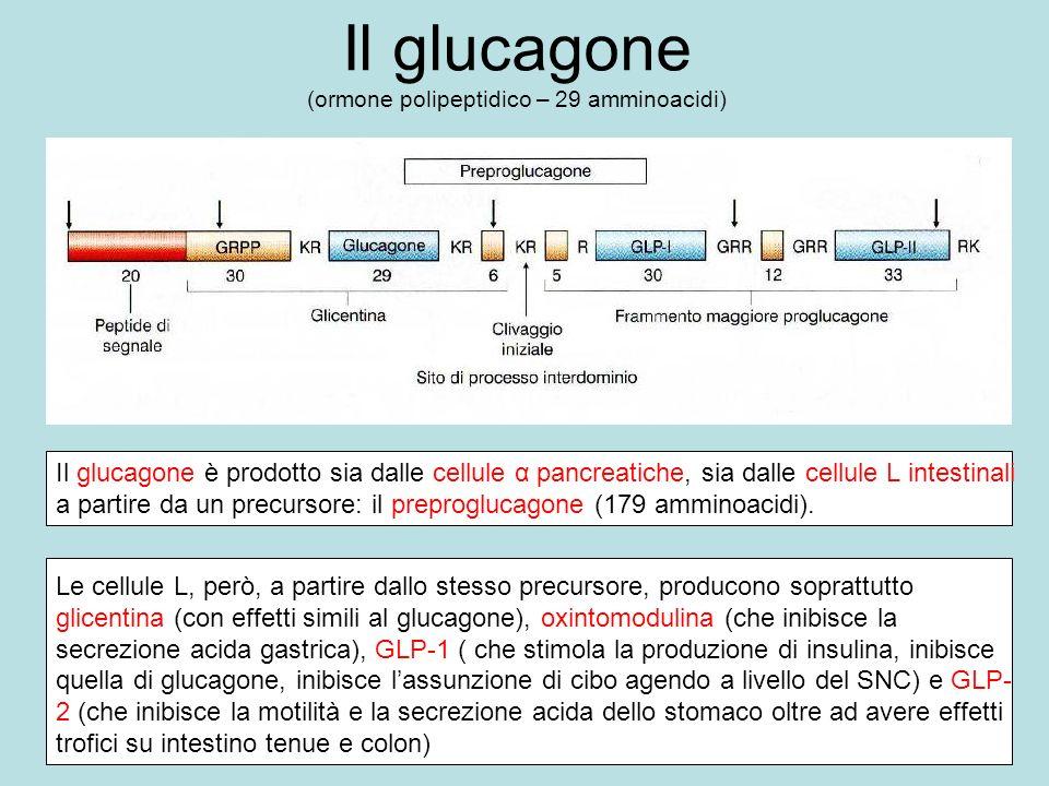 Il glucagone (ormone polipeptidico – 29 amminoacidi) Il glucagone è prodotto sia dalle cellule α pancreatiche, sia dalle cellule L intestinali a parti