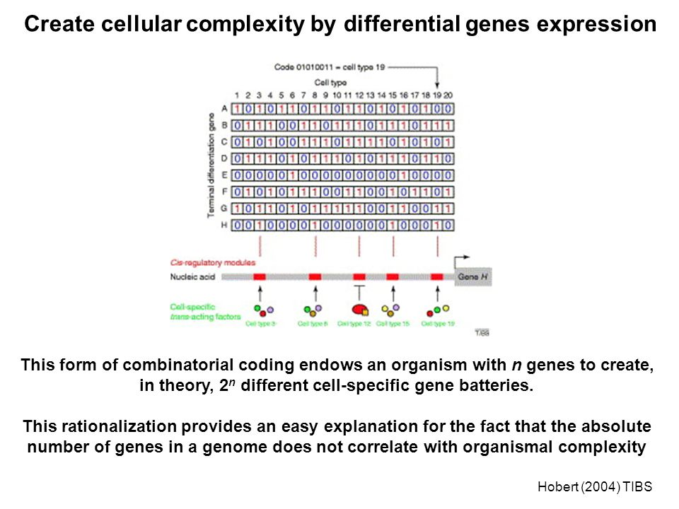 This form of combinatorial coding endows an organism with n genes to create, in theory, 2 n different cell-specific gene batteries.