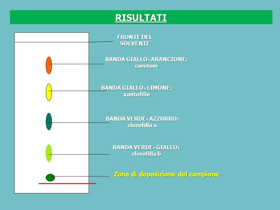 FRONTE DEL SOLVENTE BANDA GIALLO- ARANCIONE: caroteni BANDA GIALLO- LIMONE: xantofille BANDA VERDE- AZZURRO: clorofilla a BANDA VERDE- GIALLO: clorofilla b Zona di deposizione del campione RISULTATI