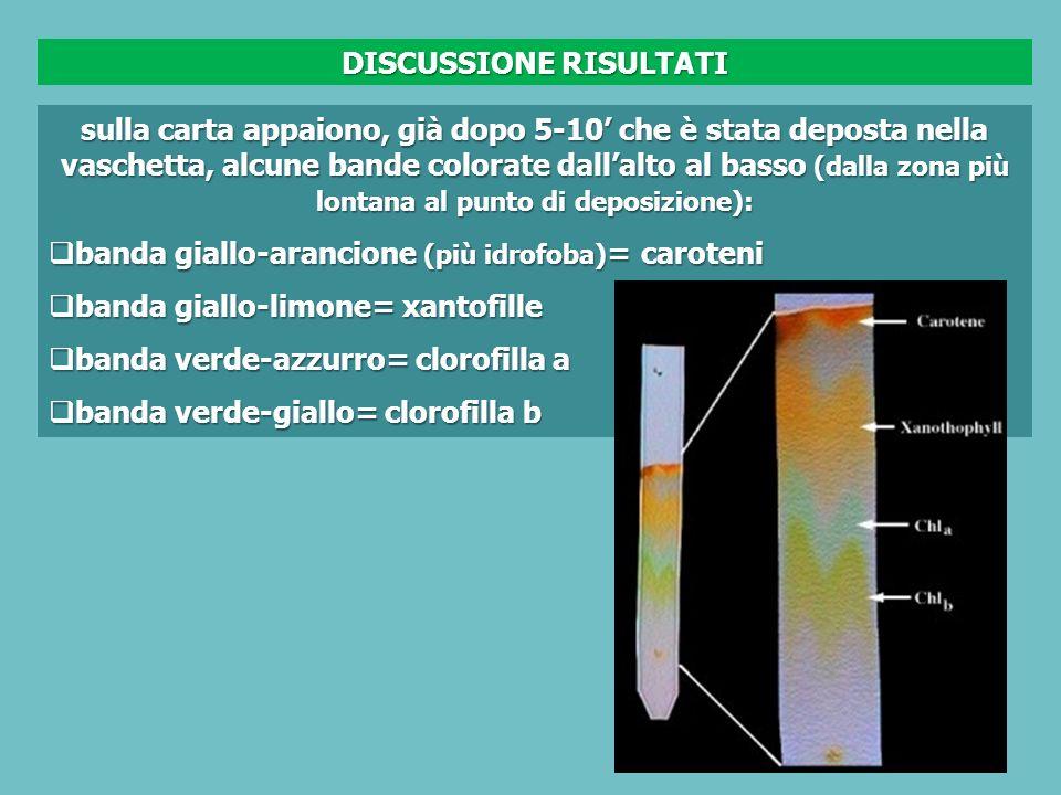 sulla carta appaiono, già dopo 5-10 che è stata deposta nella vaschetta, alcune bande colorate dallalto al basso (dalla zona più lontana al punto di deposizione): banda giallo-arancione (più idrofoba) = caroteni banda giallo-arancione (più idrofoba) = caroteni banda giallo-limone= xantofille banda giallo-limone= xantofille banda verde-azzurro= clorofilla a banda verde-azzurro= clorofilla a banda verde-giallo= clorofilla b banda verde-giallo= clorofilla b DISCUSSIONE RISULTATI