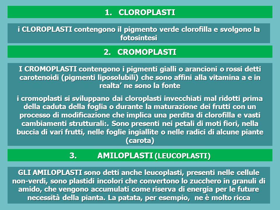 i CLOROPLASTI contengono il pigmento verde clorofilla e svolgono la fotosintesi I CROMOPLASTI contengono i pigmenti gialli o arancioni o rossi detti carotenoidi (pigmenti liposolubili) che sono affini alla vitamina a e in realta ne sono la fonte i cromoplasti si sviluppano dai cloroplasti invecchiati mal ridotti prima della caduta della foglia o durante la maturazione dei frutti con un processo di modificazione che implica una perdita di clorofilla e vasti cambiamenti strutturali:.