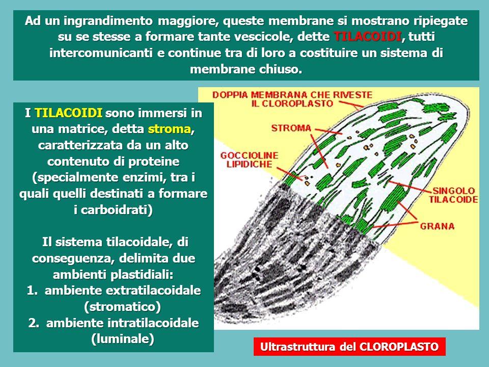 Ultrastruttura del CLOROPLASTO Ad un ingrandimento maggiore, queste membrane si mostrano ripiegate su se stesse a formare tante vescicole, dette TILACOIDI, tutti intercomunicanti e continue tra di loro a costituire un sistema di membrane chiuso.