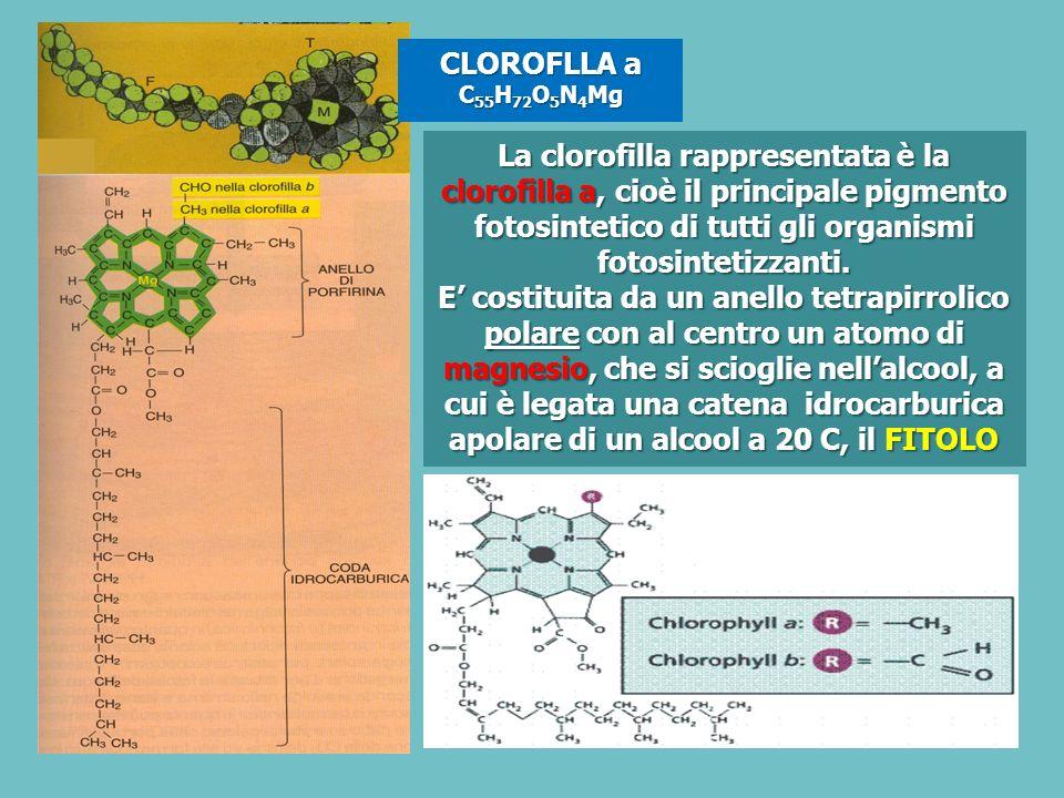 CLOROFLLA a C 55 H 72 O 5 N 4 Mg La clorofilla rappresentata è la clorofilla a, cioè il principale pigmento fotosintetico di tutti gli organismi fotosintetizzanti.