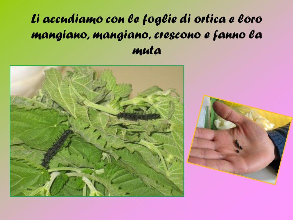 Li accudiamo con le foglie di ortica e loro mangiano, mangiano, crescono e fanno la muta
