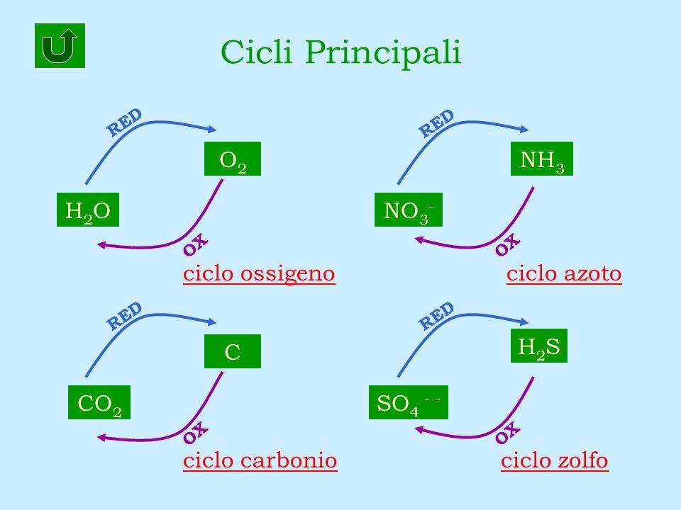 Cicli Principali H2OH2O CO 2 SO 4 - - NH 3 H2SH2S C O2O2 NO 3 - RED OX RED OX RED OX RED ciclo ossigeno ciclo zolfo ciclo azoto ciclo carbonio