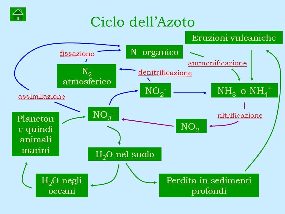 N organico Eruzioni vulcaniche N 2 atmosferico NO 2 - NH 3 o NH 4 + H 2 O nel suolo H 2 O negli oceani Perdita in sedimenti profondi Plancton e quindi
