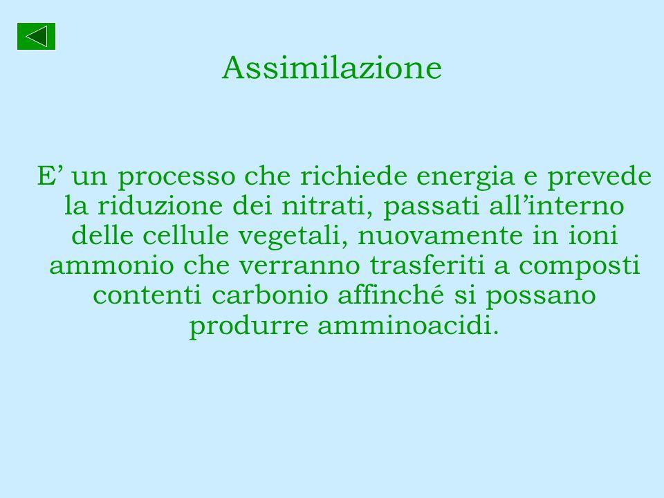 Assimilazione E un processo che richiede energia e prevede la riduzione dei nitrati, passati allinterno delle cellule vegetali, nuovamente in ioni amm