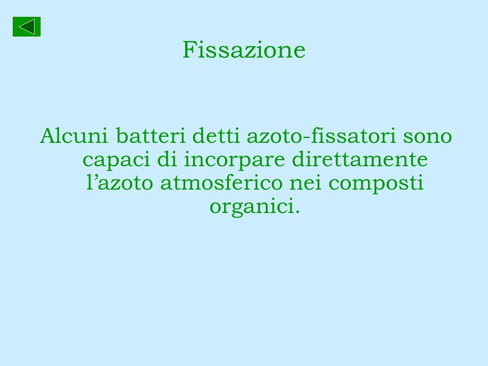 Fissazione Alcuni batteri detti azoto-fissatori sono capaci di incorpare direttamente lazoto atmosferico nei composti organici.