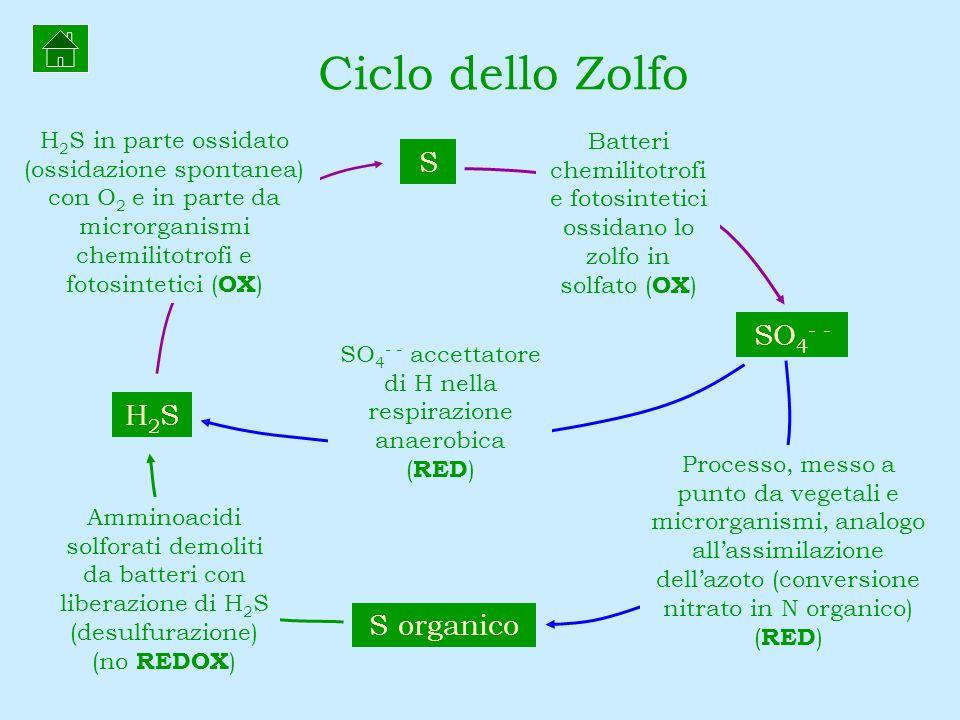 Ciclo dello Zolfo S organico H2SH2S S SO 4 - - H 2 S in parte ossidato (ossidazione spontanea) con O 2 e in parte da microrganismi chemilitotrofi e fo