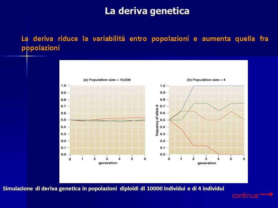 La deriva genetica continua La deriva riduce la variabilità entro popolazioni e aumenta quella fra popolazioni Simulazione di deriva genetica in popol