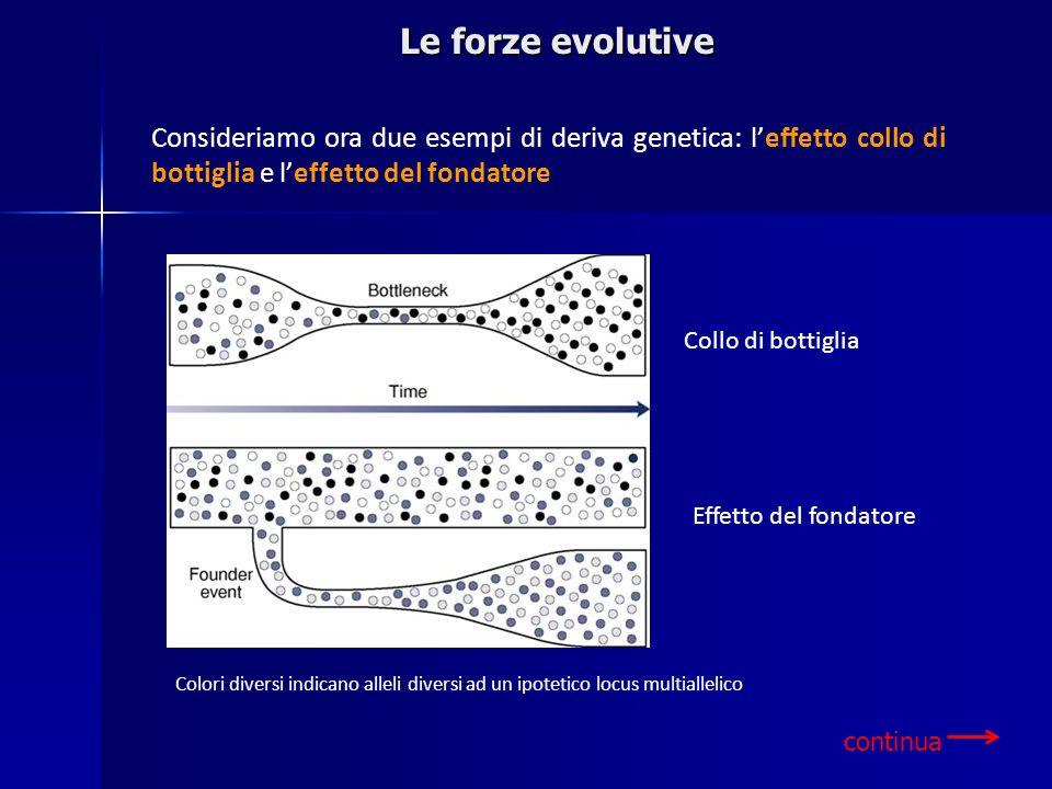 Collo di bottiglia Effetto del fondatore Colori diversi indicano alleli diversi ad un ipotetico locus multiallelico Consideriamo ora due esempi di der